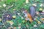 Купить «Белка в осеннем парке», фото № 29917058, снято 6 сентября 2014 г. (c) Светлана Зотеева / Фотобанк Лори
