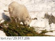 Купить «Снежная коза ест еловую хвою (Oreamnos americanus)», эксклюзивное фото № 29917206, снято 24 февраля 2013 г. (c) Щеголева Ольга / Фотобанк Лори