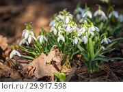 Купить «Galanthus or snowdrop», фото № 29917598, снято 15 апреля 2018 г. (c) Юлия Бабкина / Фотобанк Лори