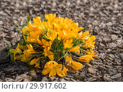 Flowers yellow crocus. Стоковое фото, фотограф Юлия Бабкина / Фотобанк Лори