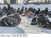 Купить «A group of gray and red pigeons birds is on a white snow path in a park in winter», фото № 29918002, снято 12 февраля 2019 г. (c) Татьяна Куклина / Фотобанк Лори