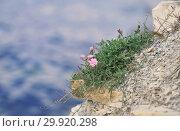 Купить «Вьюнок кантабрийский (Convolvulus cantabrica) растёт на каменистом обрыве», эксклюзивное фото № 29920298, снято 28 сентября 2018 г. (c) Dmitry29 / Фотобанк Лори