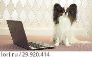 Купить «Papillon dog sits near laptop on the bed stock footage video», видеоролик № 29920414, снято 16 января 2019 г. (c) Юлия Машкова / Фотобанк Лори