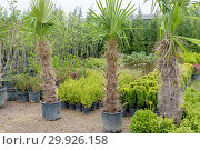 Купить «Many Palm trees and other plants are in plastic buckets for sale. Nursery for plants.», фото № 29926158, снято 8 апреля 2018 г. (c) easy Fotostock / Фотобанк Лори
