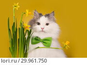 Cat on a yellow background sniffing narcissus. Стоковое фото, фотограф Светлана Валуйская / Фотобанк Лори