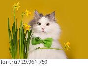Купить «Cat on a yellow background sniffing narcissus», фото № 29961750, снято 27 января 2019 г. (c) Светлана Валуйская / Фотобанк Лори