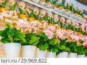 Купить «Pots of geraniums are on the shelf in a large flower shop.», фото № 29969822, снято 16 января 2019 г. (c) Акиньшин Владимир / Фотобанк Лори