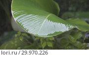 Купить «Tropical rain close up, Drops of a rain fall and roll down from big green leaves,Slow motion», видеоролик № 29970226, снято 12 февраля 2009 г. (c) Куликов Константин / Фотобанк Лори