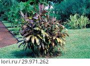 Cordyline fruticosa Negri. Стоковое фото, фотограф Luigi Galperti / age Fotostock / Фотобанк Лори