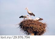 Купить «A family of storks in their nest, sitting high on a pole», фото № 29976794, снято 29 июля 2018 г. (c) Алексей Маринченко / Фотобанк Лори