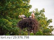 Купить «A family of storks in their nest, sitting high on a pole near the maple», фото № 29976798, снято 29 июля 2018 г. (c) Алексей Маринченко / Фотобанк Лори