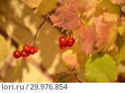 Купить «Плоды калины красной (Viburnum opulus L.), освещенные солнцем», фото № 29976854, снято 28 октября 2014 г. (c) Ирина Борсученко / Фотобанк Лори