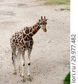 Купить «Giraffe on a sandy walkway», фото № 29977482, снято 23 сентября 2014 г. (c) Куликов Константин / Фотобанк Лори