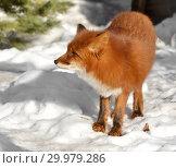 Купить «Red fox (Vulpes vulpes) in winter forest. Russia», фото № 29979286, снято 17 февраля 2019 г. (c) Валерия Попова / Фотобанк Лори