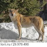 Купить «Portrait of Eurasian wolf (Canis lupus lupus) on snow in winter», фото № 29979490, снято 17 февраля 2019 г. (c) Валерия Попова / Фотобанк Лори