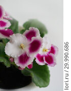 Купить «Сортовая Узамбарская фиалка - Saintpaulia (African violet )», фото № 29990686, снято 22 мая 2019 г. (c) ElenArt / Фотобанк Лори