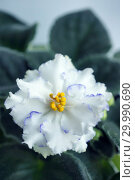 Купить «Сортовая Узамбарская фиалка - Saintpaulia (African violet )», фото № 29990690, снято 22 мая 2019 г. (c) ElenArt / Фотобанк Лори