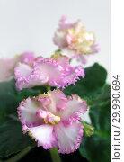 Купить «Сортовая Узамбарская фиалка - Saintpaulia (African violet )», фото № 29990694, снято 21 февраля 2020 г. (c) ElenArt / Фотобанк Лори