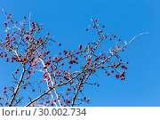 Купить «Branches of hawthorn on a background of blue sky», фото № 30002734, снято 6 января 2019 г. (c) Татьяна Ляпи / Фотобанк Лори