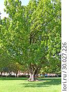 Старый дуб черешчатый  (Quercus robur L.) в сквере. Потсдам, Германия. Стоковое фото, фотограф Ирина Борсученко / Фотобанк Лори