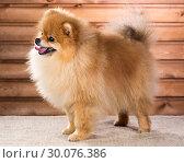 Купить «Portrait Pomeranian dog», фото № 30076386, снято 24 октября 2013 г. (c) Сергей Лаврентьев / Фотобанк Лори