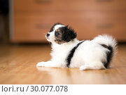 Купить «Papillon puppy lying on the floor», фото № 30077078, снято 29 января 2019 г. (c) Сергей Лаврентьев / Фотобанк Лори