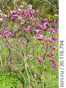 Купить «Цветущее растение магнолии лилиецветной (Magnolia liliiflora Desr.) в солнечный день», фото № 30118794, снято 3 мая 2016 г. (c) Ирина Борсученко / Фотобанк Лори