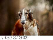 Купить «Russian borzoi dogs portrait in an autumn park», фото № 30159234, снято 20 октября 2018 г. (c) Julia Shepeleva / Фотобанк Лори