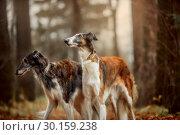 Купить «Russian borzoi dogs portrait in an autumn park», фото № 30159238, снято 20 октября 2018 г. (c) Julia Shepeleva / Фотобанк Лори