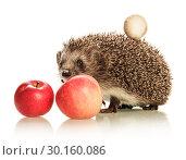 Купить «Cute prickly hedgehog with a mushroom on the back and an apple isolated on white», фото № 30160086, снято 20 сентября 2014 г. (c) Сергей Молодиков / Фотобанк Лори