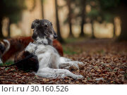 Купить «Russian borzoi dogs portrait in an autumn park», фото № 30160526, снято 23 октября 2016 г. (c) Julia Shepeleva / Фотобанк Лори