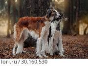 Купить «Russian borzoi dogs portrait in an autumn park», фото № 30160530, снято 23 октября 2016 г. (c) Julia Shepeleva / Фотобанк Лори