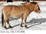 Przewalski's horse, also called the Mongolian wild horse or Dzungarian horse. Стоковое фото, фотограф Валерия Попова / Фотобанк Лори