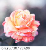 Купить «Festive floral gentle background greeting card. Rose peach and pink pastel striped flowers in a haze in an artistic romantic style», фото № 30175690, снято 10 сентября 2017 г. (c) Светлана Евграфова / Фотобанк Лори