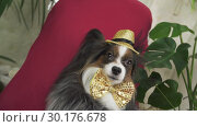 Купить «Papillon dog in beautiful suit in a fur coat and a concert hat with a butterfly is removed in the clip stock footage video», видеоролик № 30176678, снято 6 февраля 2019 г. (c) Юлия Машкова / Фотобанк Лори