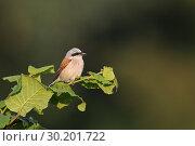 Купить «Male Red-backed shrike (Lanius collurio) perches on top of a hedge in wonderful late evening light..», фото № 30201722, снято 29 июля 2012 г. (c) age Fotostock / Фотобанк Лори