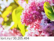 Купить «Spring landscape with lilac flowers. Blooming lilac flowers, lilac branch lit by sunlight. Focus at the central flowers», фото № 30205494, снято 15 июня 2017 г. (c) Зезелина Марина / Фотобанк Лори