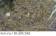 Купить «Две лягушки в пруду заросшем травой», видеоролик № 30205542, снято 23 мая 2018 г. (c) Олег Хархан / Фотобанк Лори
