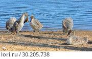 Купить «Young swans (Cygnus olor)», фото № 30205738, снято 18 июля 2018 г. (c) Валерия Попова / Фотобанк Лори