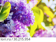 Купить «Spring background with lilac flowers in spring blossom. Blooming lilac flowers, lilac branch lit by sunlight», фото № 30215954, снято 15 июня 2017 г. (c) Зезелина Марина / Фотобанк Лори