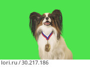 Купить «Beautiful dog Papillon with medal for first place on the neck on green background», фото № 30217186, снято 25 августа 2019 г. (c) Юлия Машкова / Фотобанк Лори