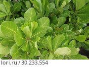 Background, Wallpaper of bright green tropical leaves. Стоковое фото, фотограф Моисеев Дмитрий / Фотобанк Лори