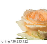 Купить «Tea rose flower in water drops closeup on white isolated background», фото № 30233722, снято 27 марта 2016 г. (c) Наталья Волкова / Фотобанк Лори