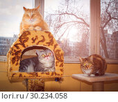 Купить «Three friendly cats lie on the veranda, an American shorthair cat, a cat of the British breed and a Russian Siberian cat.», фото № 30234058, снято 14 марта 2016 г. (c) Акиньшин Владимир / Фотобанк Лори