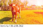 Купить «Portrait of a beautiful brown cow.», фото № 30238362, снято 7 мая 2016 г. (c) Акиньшин Владимир / Фотобанк Лори