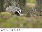 Купить «European Badger / Europaeischer Dachs ( Meles meles ), adult animal, strolls through a forest, passing dangerous rusty barbwire, waste problem.», фото № 30254254, снято 5 октября 2014 г. (c) age Fotostock / Фотобанк Лори
