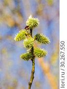 Купить «Ива козья (Salix caprea). Женские соцветия», фото № 30267550, снято 12 апреля 2016 г. (c) Алёшина Оксана / Фотобанк Лори