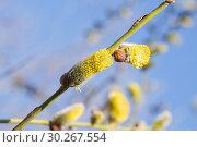 Купить «Мужское соцветие цветущей ивы козьей (Salix caprea)», фото № 30267554, снято 12 апреля 2016 г. (c) Алёшина Оксана / Фотобанк Лори