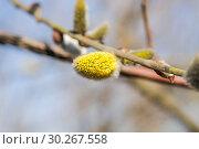 Купить «Цветущая ива козья (Salix caprea). Мужское соцветие», фото № 30267558, снято 12 апреля 2016 г. (c) Алёшина Оксана / Фотобанк Лори