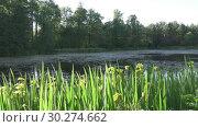Купить «Iris pseudacorus yellow flag, yellow iris, water flag, lever is a species in the genus Iris, of the family Iridaceae on the bank of the lake in sunny day», видеоролик № 30274662, снято 6 марта 2009 г. (c) Куликов Константин / Фотобанк Лори